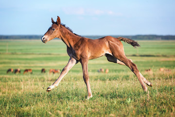 Cute purebred foal running free.