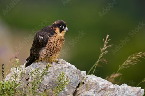 Poster falcone pellegrino (Falco peregrinus) giovane ritratto