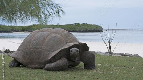 Fotobehang Schildpad Aldabra Giant Tortoises