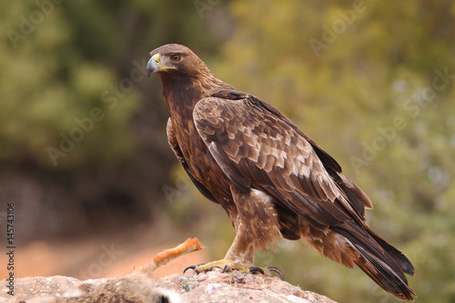 Young male of golden eagle Poster