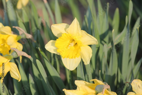 Yellow daffodil flowers (narcissus) in a small garden in early spring.