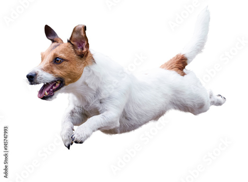 Fototapeta Jack Russell Terrier dog running and jumping isolated on white