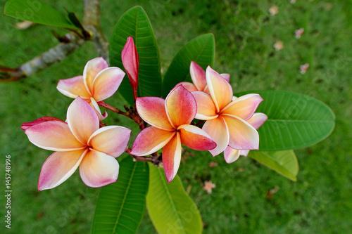 Fotobehang Plumeria Frangipani flowers