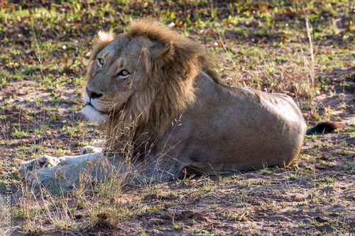 Lion in Repose Poster