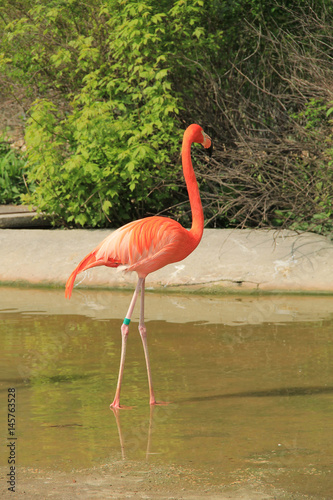 colorful flamingo with beautiful orange feathers in the water