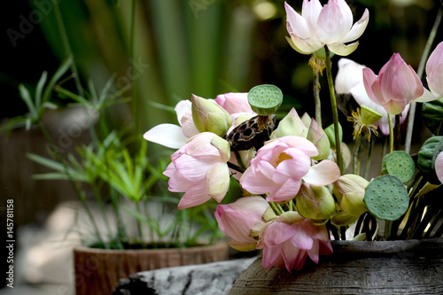 Pink lotus in a vase placed in the garden. Poster