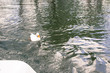beautiful white duck swimming in a river