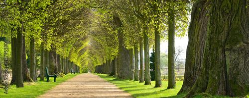 Park mit Lindenallee im Frühling, erstes frisches grünes Laub - 145795500