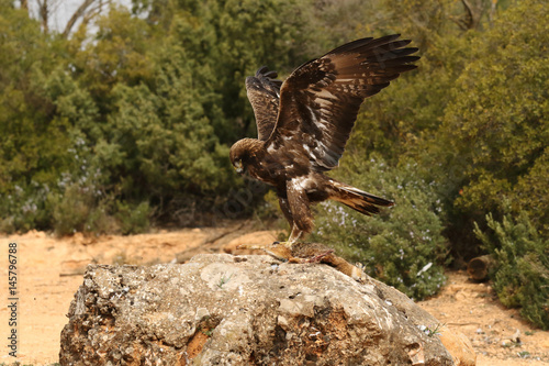 young male of golden eagle