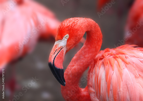 Poster hoto of a beautiful portrait of a red flamingo