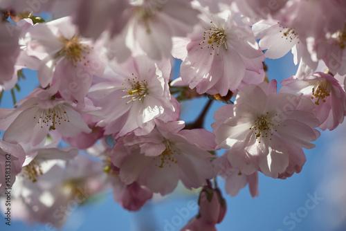 kirschblüte 18 Poster