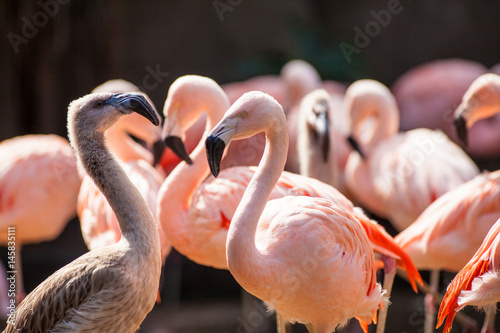 captive Chilean Flamingo