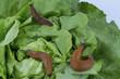 Schnecke mit Salatblatt - 145903552