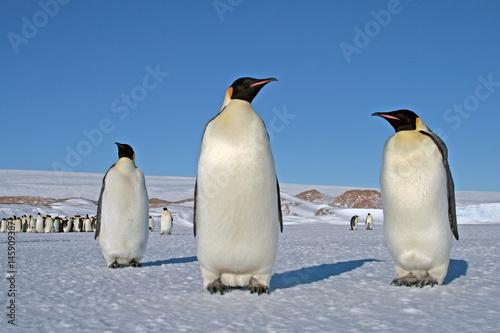 Papiers peints Antarctique Emperor penguin chick. Close-up