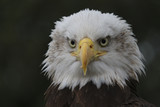 Close up of Bald Eagle with a piercing stare straight to camera