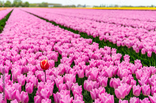 Aluminium One red-yellow tulip protrudes above the many pink flowering tulip flowers in a large field at a specialized Dutch bulb nursery.