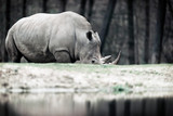 Grazing white rhinoceros near pond in zoo.