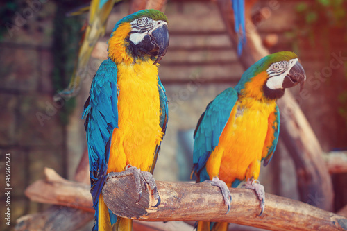 Parrots in the jungle. Blue-and-Yellow Macaw (Ara ararauna)