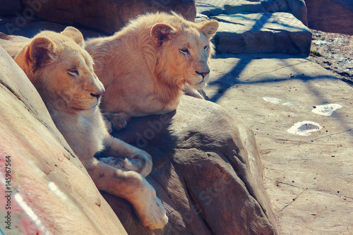 Male and Female Lion Sitting on a Rock Poster