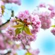 Zierkirsche - Blüten - rosa
