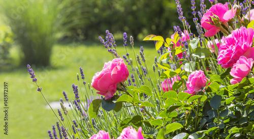 pink roses in house garden - Gartenrosen im Hausgarten