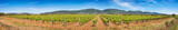 Panoramic view of a large Sardinian vineyard in spring