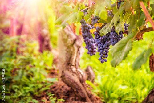 vineyard with ripe grapes in countryside at sunset Poster