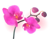 Naturalistic Beautiful Colorful Pink Orchid.Vector Illustration.