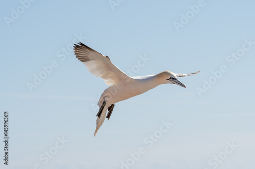 Northern Gannets at the island Helgoland Germany