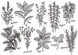 Group of herbs and spices illustration, drawing, engraving, ink, line art, vector - 145996746