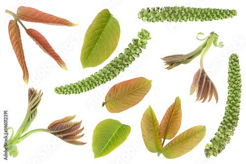 Poster Walnut leaf closeup set