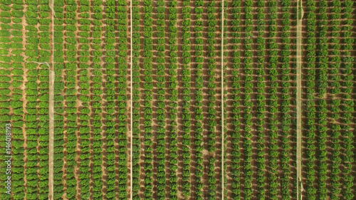 Large plantation of citrus trees - Top down aerial view - 146018193