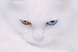 Portrait of turkish van cat.