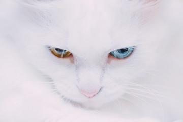 Portrait of turkish van cat.