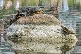 Mehrere Wasserschildkröten beim Sonnen auf einem Stein im Wasser