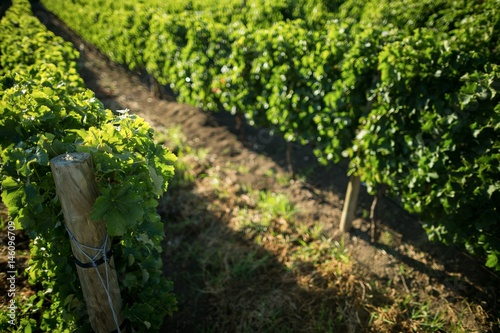 Poster High angle view of vineyard