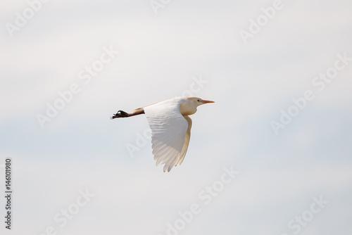 Western Cattle Egret, Bubulcus ibis, bird flying Plakát