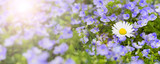 Frühlingswiese mit Vergissmeinnicht und Sonnenstrahlen - 146111194