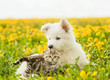 Cat and dog lying together on a dandelion field - 146115577