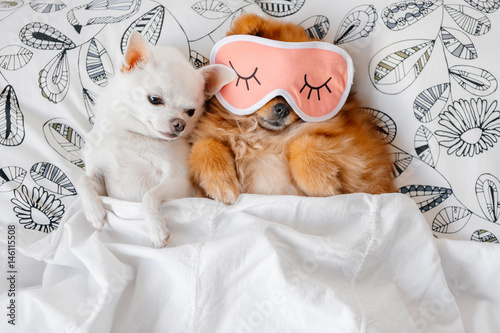 Cute Funny Red Pomeranian Female Puppy Lying On Back In Sleeping