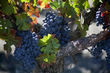 Grapes and Vine in the Napa Valley, California