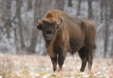 European bison (Bison bonasus) - 146123551
