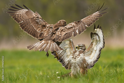 Poster Fighting common buzzards (Buteo buteo)