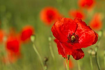 Red poppy flowers 4