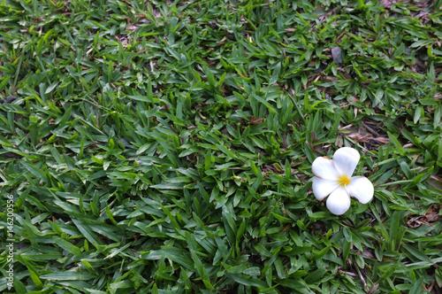 Leelavadee, Plumeria, tropische Blume auf Rasenfläche, schöner Naturhintergrund des Konzeptes
