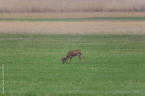 young roebuck (capreolus) standing i and grazing n meadow Poster