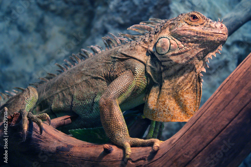 Close-Up Of Iguana On Tree Branch Poster