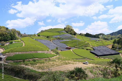 Tea Plantation of Kyoto Japan