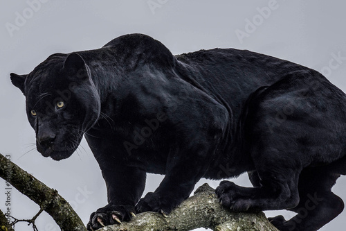Foto op Aluminium Panter Black Panther
