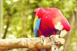 Red blue parrot bending over and nibbling on a wooden branch with its beak in the forrest at daytime.